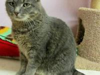 Domestic Medium Hair - Dax - Large - Adult - Male -