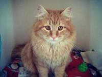 Domestic Medium Hair - Fred - Large - Adult - Male -