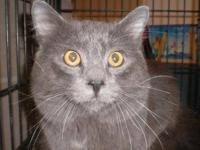 Domestic Medium Hair - Gray - Fritz - Large - Adult -