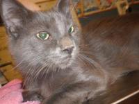 Domestic Medium Hair - Gray - Maniacal - Large - Adult