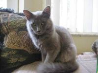 Domestic Medium Hair - Gray - Mario - Small - Young -