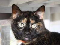 Domestic Medium Hair - Madonna - Medium - Senior -