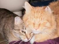Domestic Medium Hair - Orange and white Clifford (male,