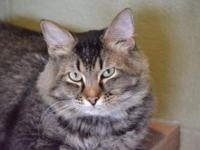 Domestic Medium Hair - Owen - Medium - Adult - Male -
