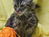 Domestic Medium Hair - Picassa - Small - Young - Female