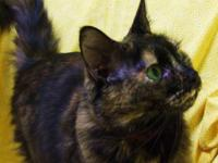 Domestic Medium Hair - Rose - Medium - Adult - Female -