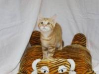 Domestic Medium Hair - Tigger - Small - Young - Male -