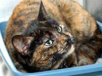Domestic Short Hair - A015949 - Medium - Young - Female