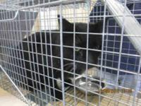 Domestic Short Hair - A595173 - Small - Adult - Male -