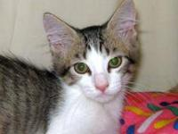 Domestic Short Hair - Alfie - Small - Baby - Male -