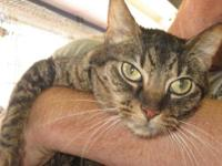 Domestic Short Hair - Alice - Large - Adult - Female -