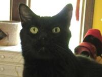 Domestic Short Hair - Amigo - Medium - Adult - Male -