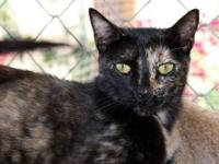 Domestic Short Hair - Angie - Medium - Young - Female -