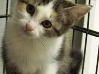 Domestic Short Hair - Audrey - Small - Baby - Female -