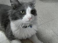 Domestic Short Hair - Barney Bruce - Large - Adult -