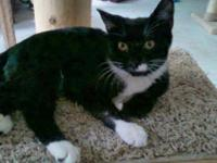 Domestic Short Hair - Bella - Medium - Baby - Female -