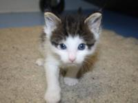 Domestic Short Hair - Ben - Medium - Baby - Male - Cat