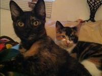 Domestic Short Hair - Bernise - Medium - Young - Female
