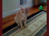 Domestic Short Hair - Biggie - Small - Adult - Male -