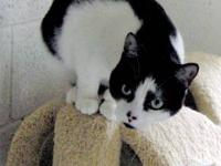 Domestic Short Hair - Black and white - Cat - Medium -