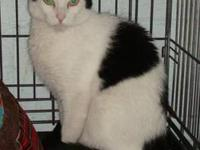 Domestic Short Hair - Black and white - Francis -