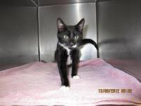 Domestic Short Hair - Black and white - Huckleberry -