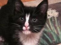 Domestic Short Hair - Black and white - Louise - Medium