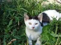 Domestic Short Hair - Black and white - Milar - Small -