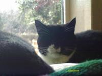 Domestic Short Hair - Black and white - Oreo 20243 -