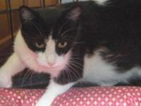 Domestic Short Hair - Black and white - Otto - Large -