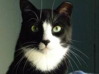 Domestic Short Hair - Black and white - Pip - Medium -