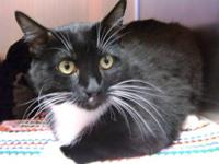 Domestic Short Hair - Black and white - Robyn - Large -