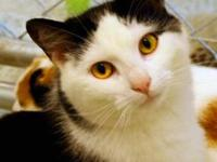Domestic Short Hair - Black and white - Tammie - Small