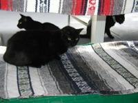 Domestic Short Hair - Black - Beans - Small - Adult -