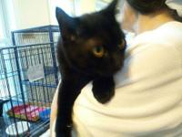 Domestic Short Hair - Black - Carter - Large - Young -