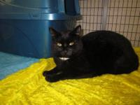 Domestic Short Hair - Black - F12092 Sheba - Medium -