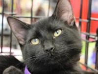 Domestic Short Hair - Black - Hudson - Medium - Baby -