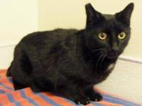 Domestic Short Hair - Black - Kip - Medium - Adult -