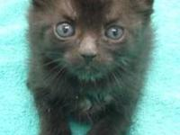 Domestic Short Hair - Black - Liam - Medium - Baby -