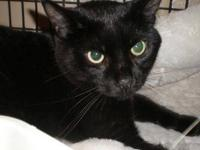 Domestic Short Hair - Black - Linus - Large - Adult -