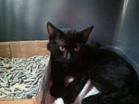 Domestic Short Hair - Black - Max - Small - Baby - Male