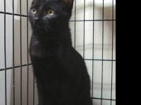 Domestic Short Hair - Black - Onyx - Medium - Adult -