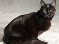 Domestic Short Hair - Black - Prudence - Medium - Young
