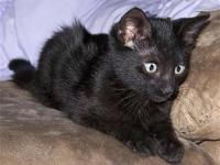 Domestic Short Hair - Black - Quinn - Small - Young -