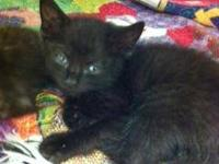 Domestic Short Hair - Black - Spain - Medium - Baby -