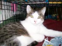 Domestic Short Hair - Bosco - Large - Adult - Male -