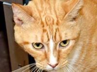 Domestic Short Hair - Cameron - Medium - Adult - Male -