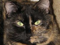 Domestic Short Hair - Cami - Medium - Young - Female -