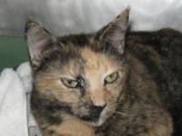 Domestic Short Hair - Cassidy - Medium - Adult - Female