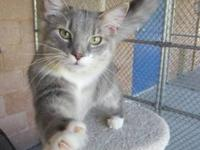 Domestic Short Hair - Charm - Small - Young - Female -